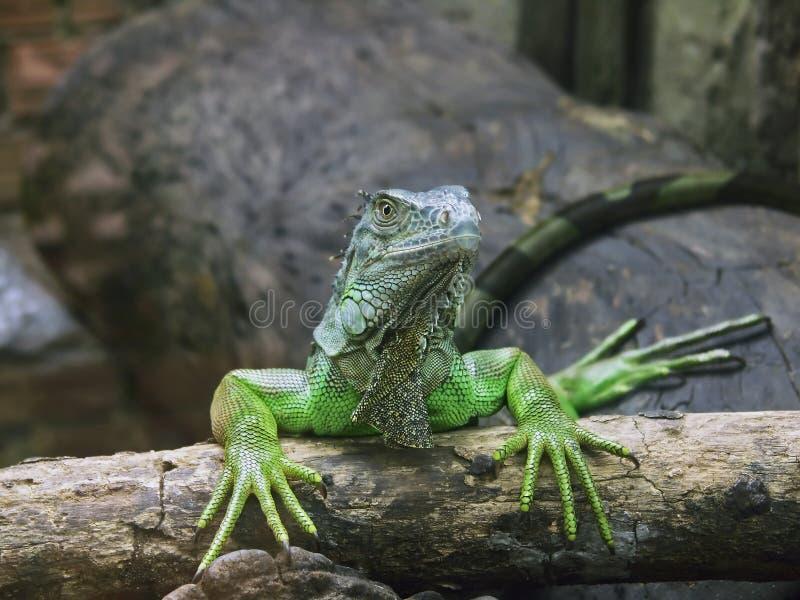 Manicure de secagem da iguana verde foto de stock royalty free