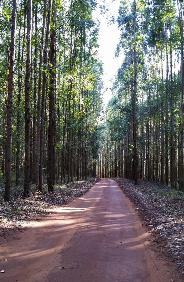 Manier in het eucalyptusbos in rode grond royalty-vrije stock foto's