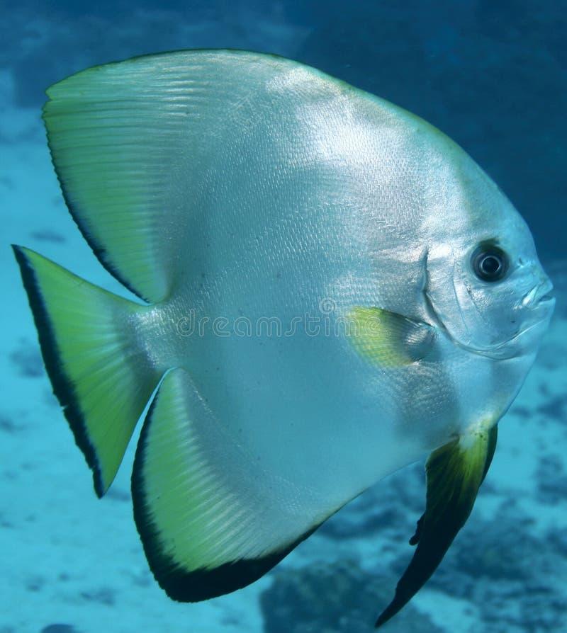 Maniez la batte les poissons photo stock