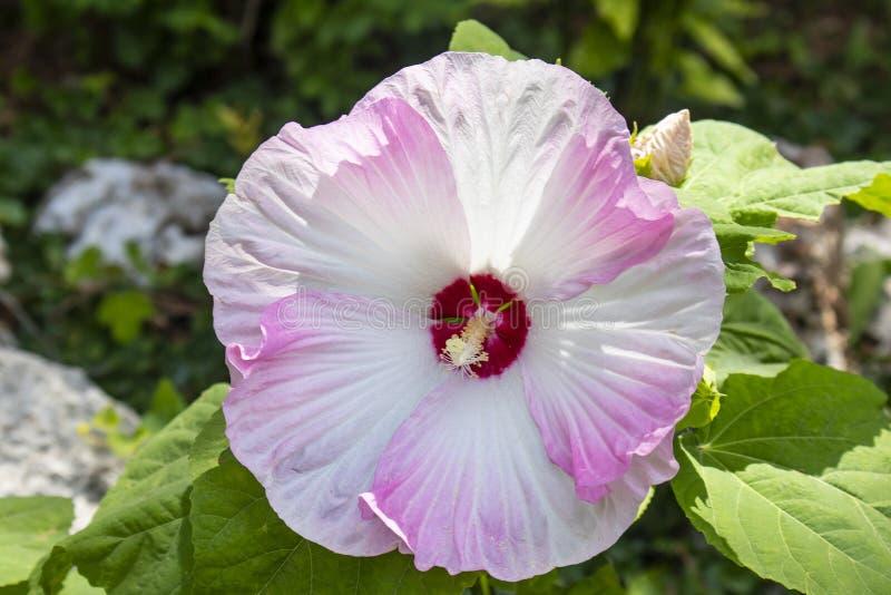 Manifestazione-fermando l'ibisco supersized fiorisca in piena fioritura in tonalità di turbine di rosso della rosa e del mirtillo fotografia stock libera da diritti