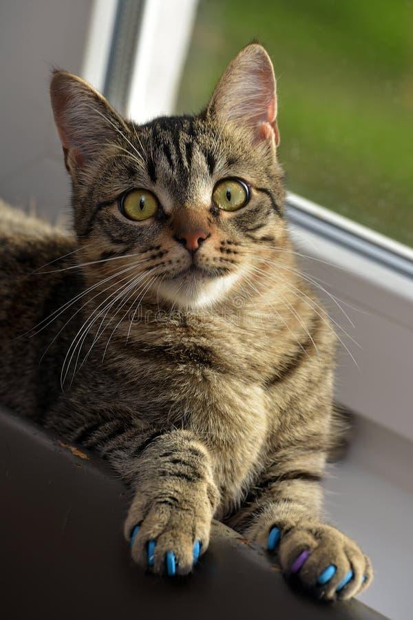 Download Manikyr för katter fotografering för bildbyråer. Bild av carnivore - 76703449