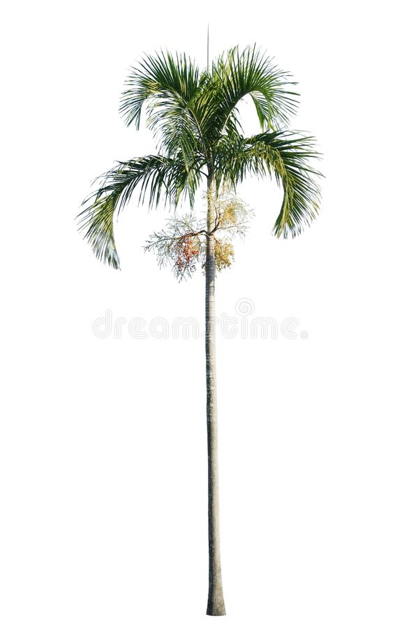Manila palm, Christmas palm tree Veitchia merrillii isolated on white. Background royalty free stock photography