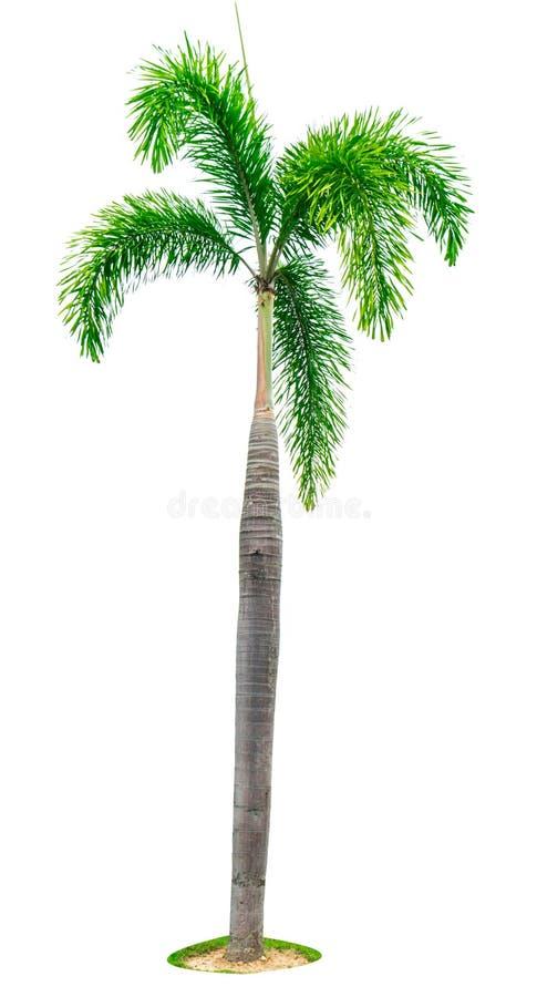 Manila-Palme, Weihnachtspalme Veitchia-merrillii lokalisiert auf weißem Hintergrund mit Kopienraum Verwendet für die Werbung lizenzfreie stockfotografie