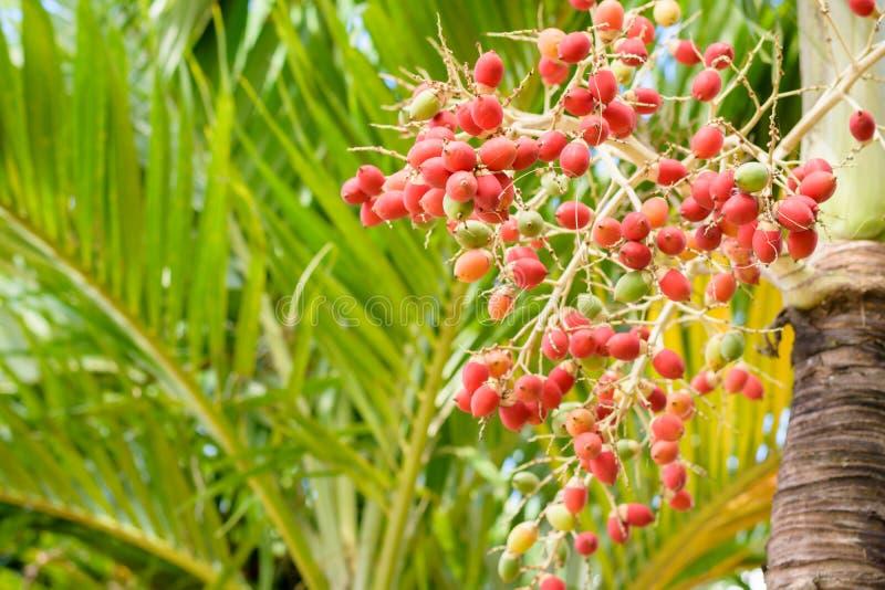Manila-Palmenfrüchte lizenzfreie stockfotografie