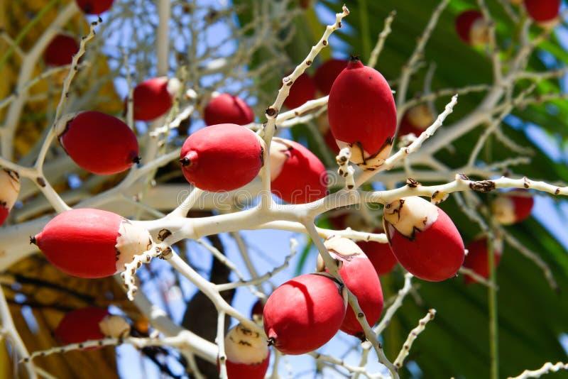 Manila-Palmenfrucht stockfotos