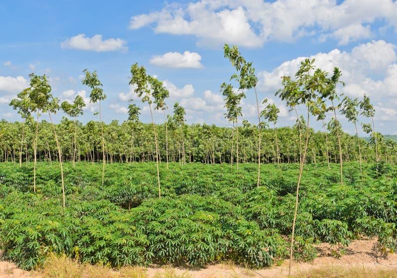 Manioc et plantation en caoutchouc images libres de droits