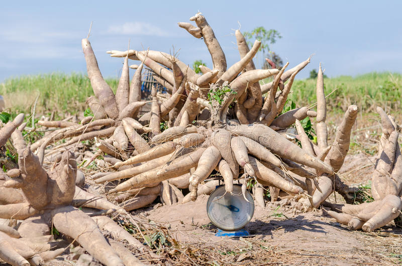 Manioc moissonné dans les terres cultivables photo stock