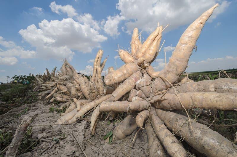 Manioc moissonné dans les terres cultivables photographie stock libre de droits