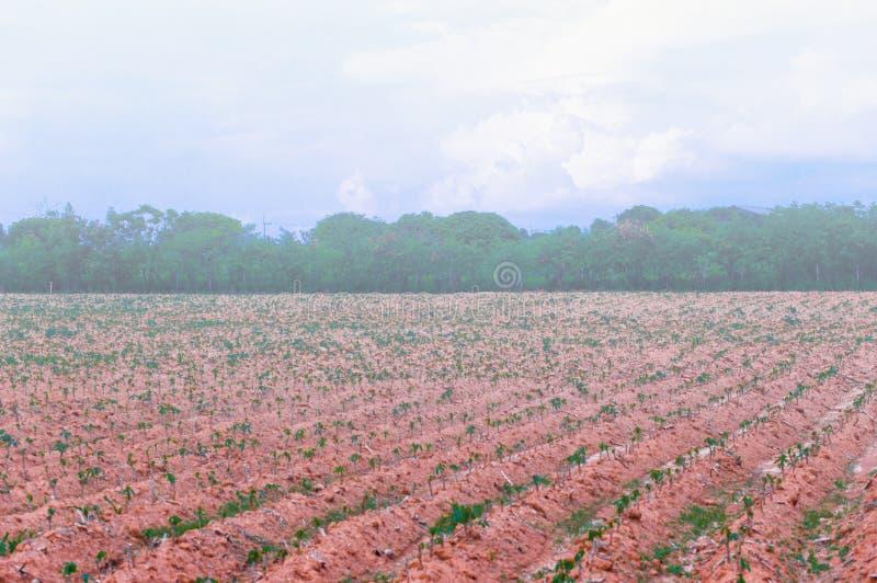 Manioc, tapioca images libres de droits