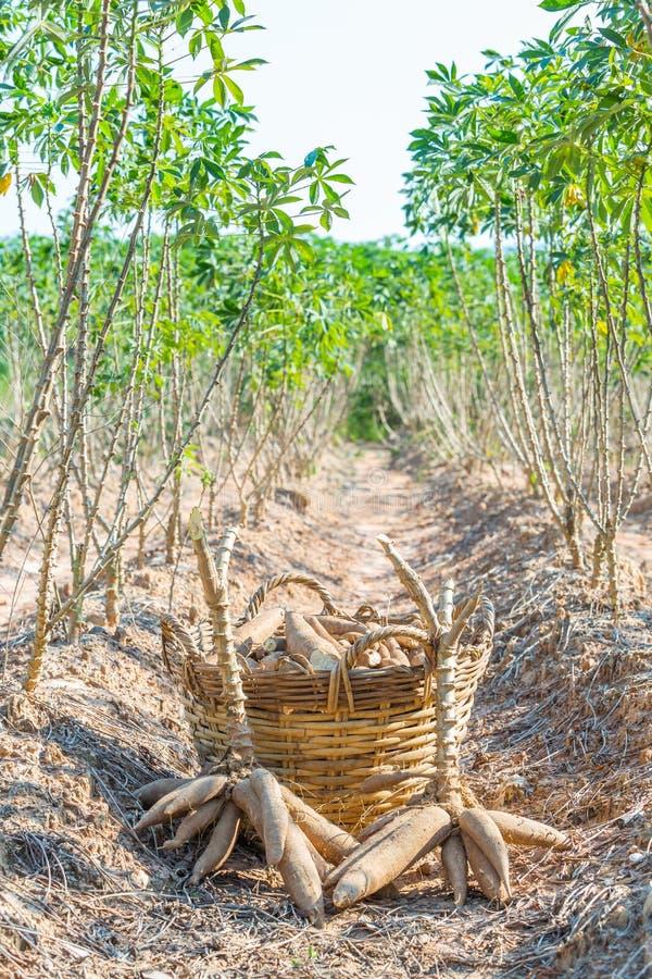 Récolte de manioc photographie stock libre de droits