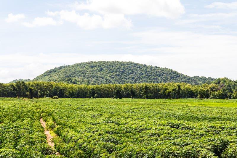 Maniok de landbouw stock foto