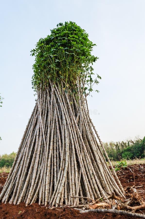 Maniok of maniokinstallatiegebied royalty-vrije stock afbeeldingen