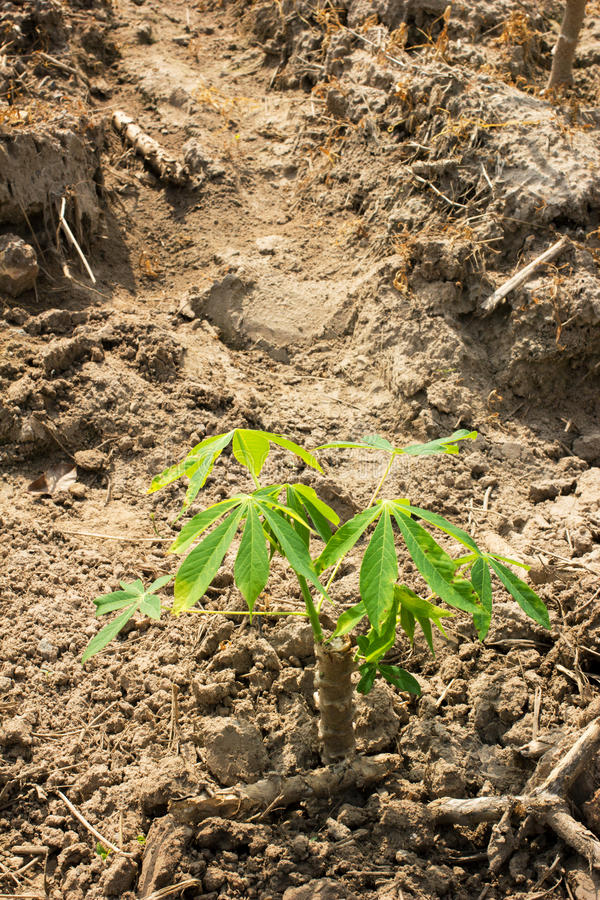 Maniok of maniokjonge plantgebied royalty-vrije stock afbeelding