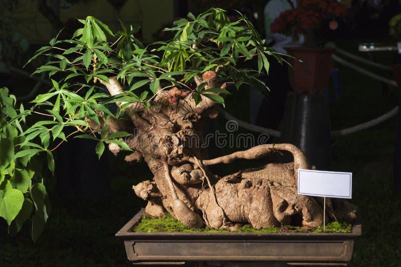 Maniok, Maniokwortel, Manihot, Mogo-bonsaiboom stock afbeeldingen