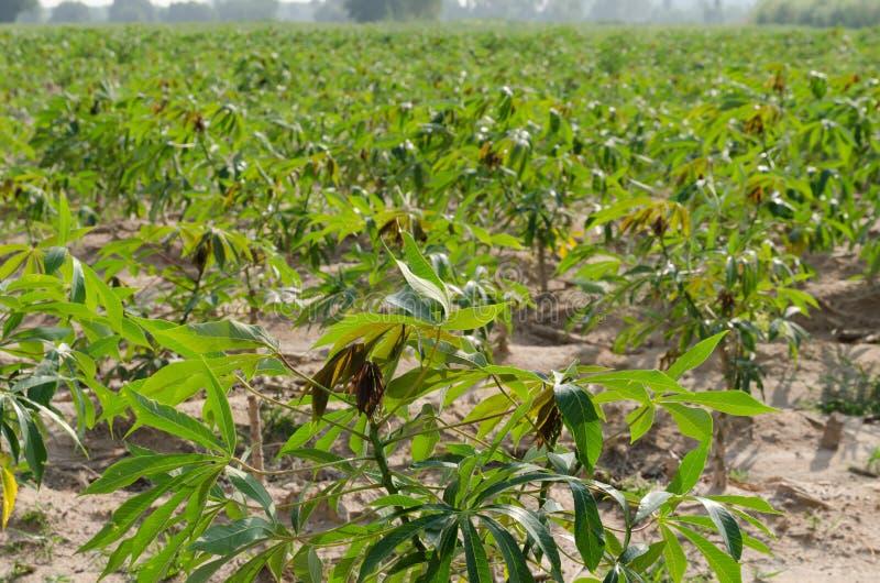 Maniokaanplanting stock fotografie