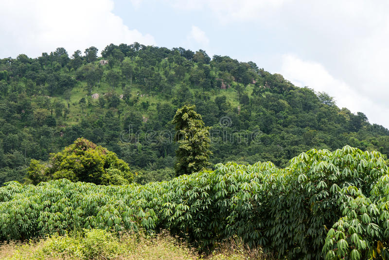 Maniokaanplanting dichtbij de berg stock foto