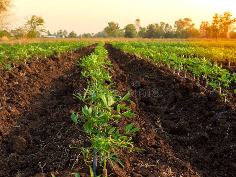 Manioklandbouwbedrijf royalty-vrije stock afbeelding