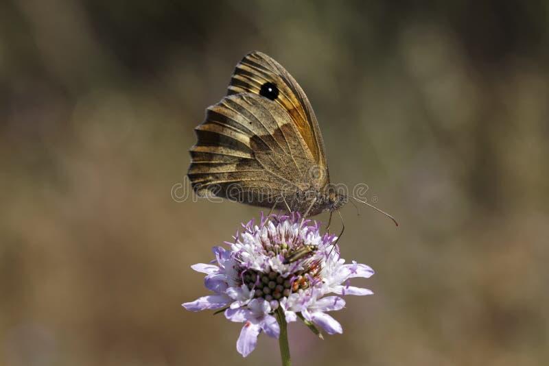 Maniola jurtina, Łąkowy Brown motyl (kobieta) fotografia royalty free