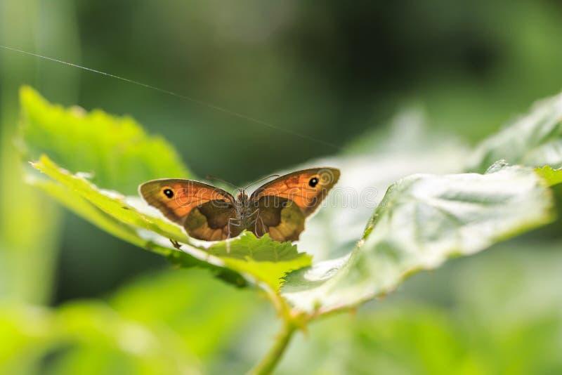 Maniola-jurtina Schmetterling der Wiese braunes Vorderansicht stockfotografie