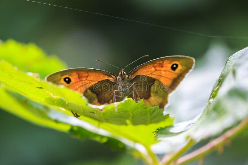 Maniola-jurtina Schmetterling der Wiese braunes Vorderansicht stockfotos