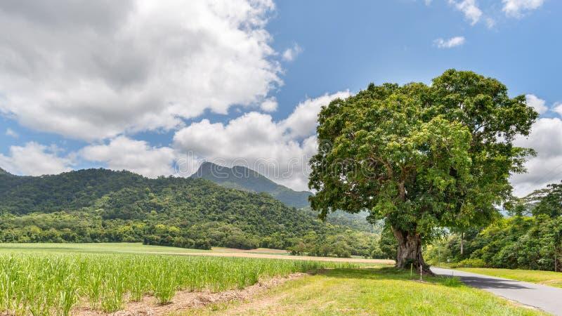 Manjal Dimbi (登上戴米),甘蔗,芒果树,莫斯曼峡谷 免版税图库摄影