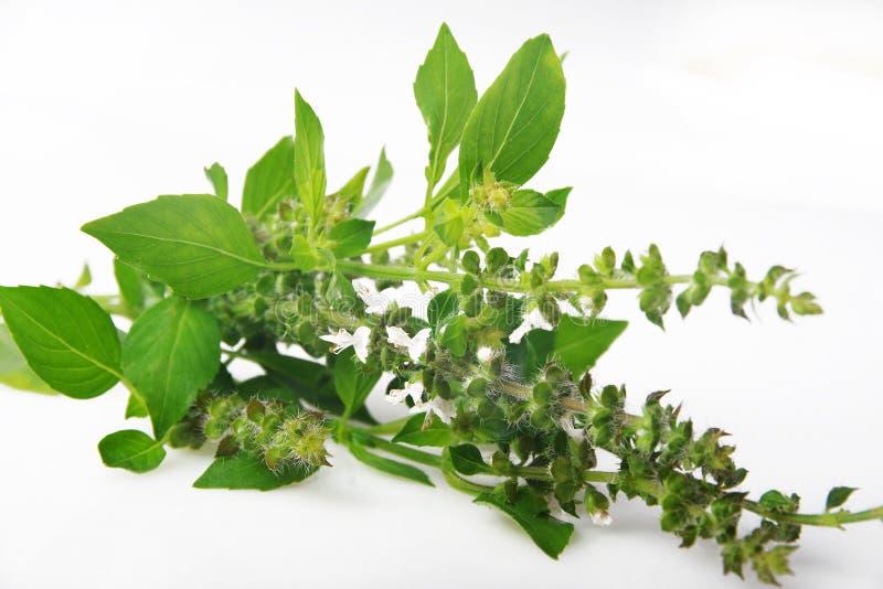 Manjericão - basilicum do Ocimum fotografia de stock