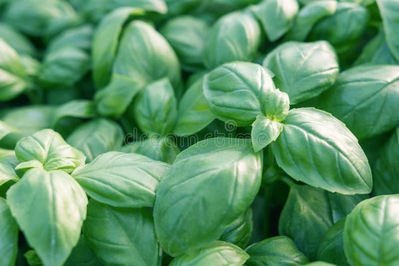 Manjericão fresca Manjericão verde Fundo verde do alimento da manjericão Muito imagem de stock royalty free