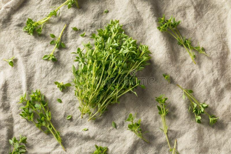 Manjericão grega picante orgânica verde crua imagens de stock
