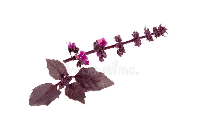 Manjericão isolada no branco Basil Leaf Folhas frescas da manjericão imagem de stock royalty free