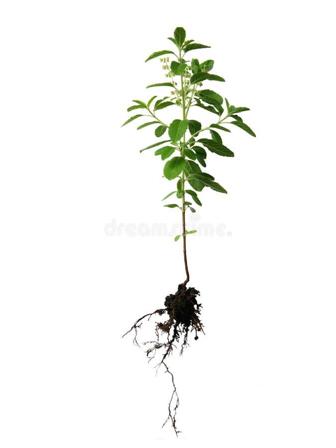 Manjericão sagrado, árvore santamente da manjericão foto de stock royalty free