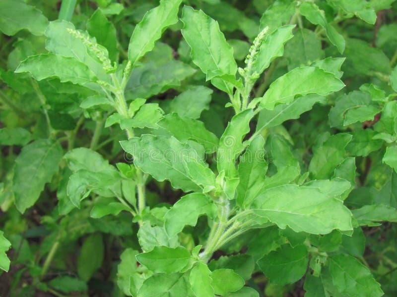 Manjericão santamente da folha verde fresca, santuário do Ocimum, vegetais, Ingred fotos de stock royalty free