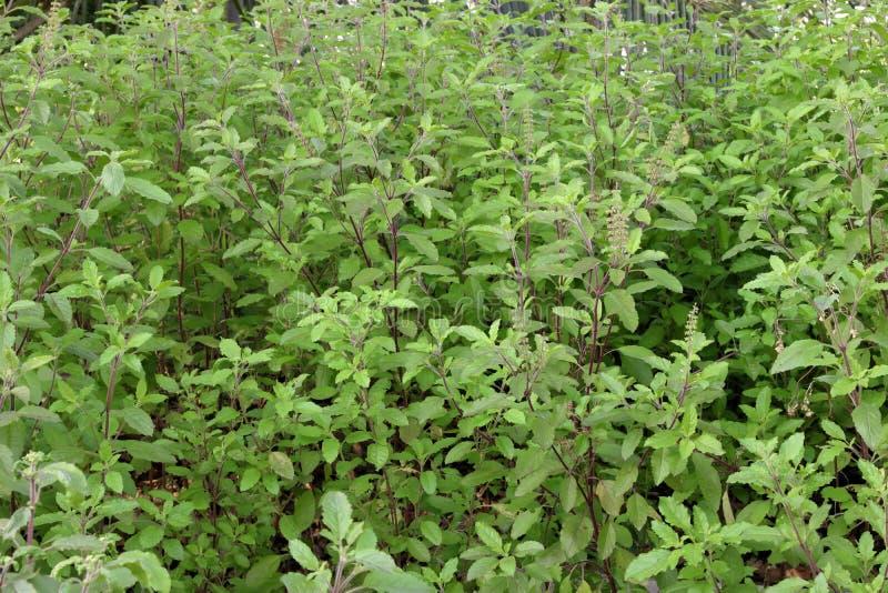 A manjericão santamente ou o nome científico são tenuiflorum do Ocimum foto de stock