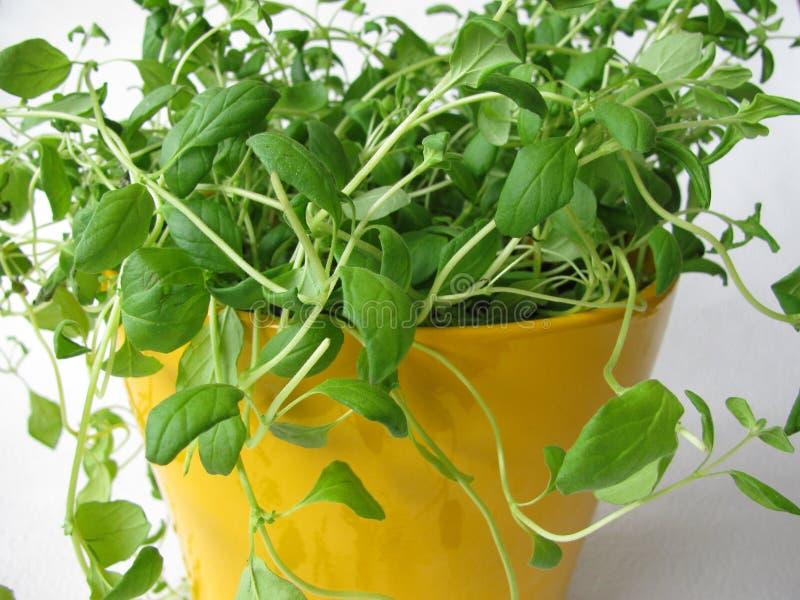 Manjerona no flowerpot imagem de stock royalty free