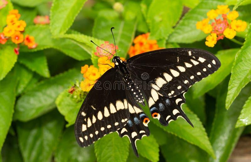 Manlig östlig svart Swallowtail fjäril som matar på Lantanablommor royaltyfri fotografi