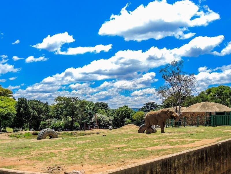 Manlig afrikansk elefant i dess bilaga på den Johannesburg zoo royaltyfria bilder