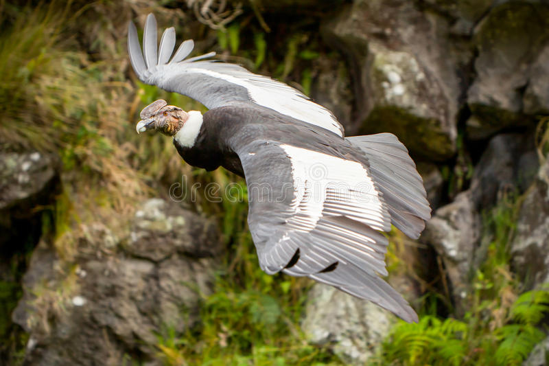 Manlig Andean kondor i flykten arkivfoto
