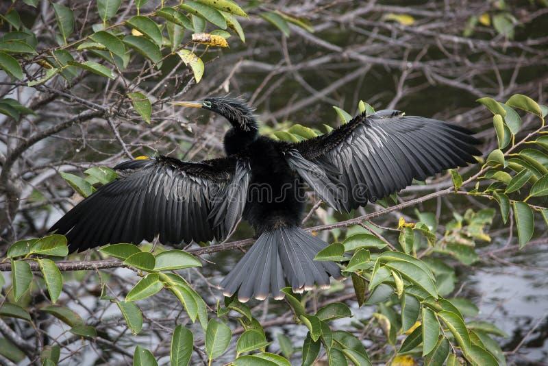 Manlig Anhingafågel Sunnning royaltyfri bild