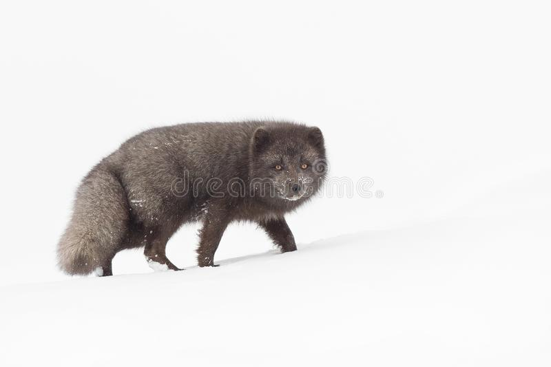 Manlig arktisk räv för blå morf under en djup och kall vinter fotografering för bildbyråer