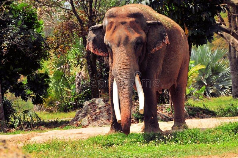 Manlig asiatisk elefant i zoo arkivfoton