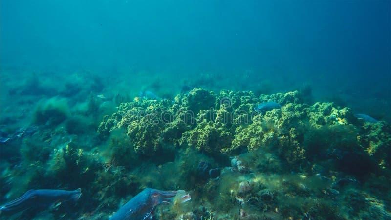 Manlig australisk jätte- bläckfisk som skyddar hans kvinnlig, som hon försöker att lägga hennes ägg under para ihopflyttningssäso royaltyfria foton