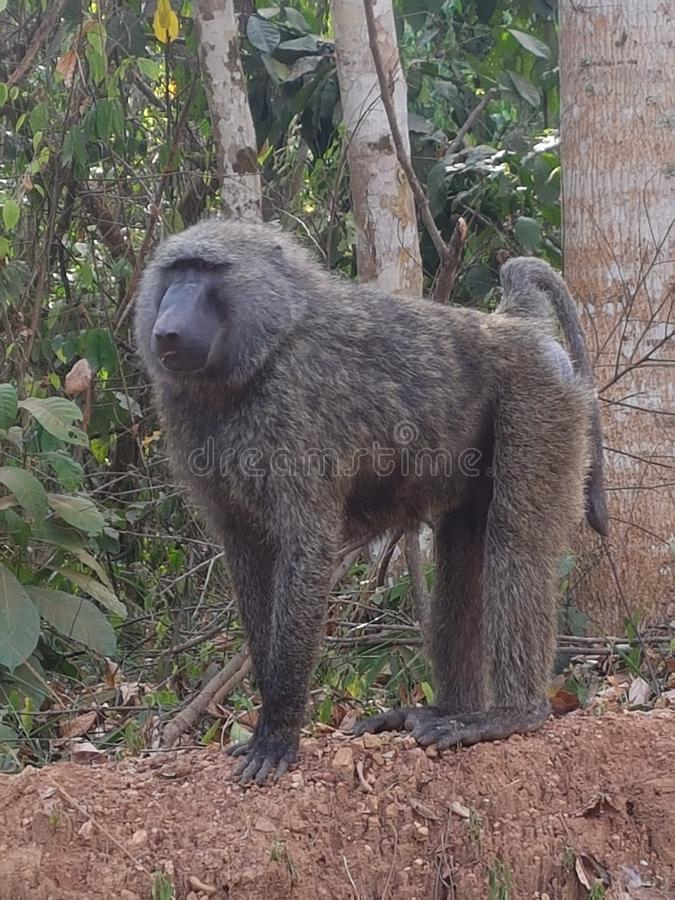 Manlig babian arkivfoton