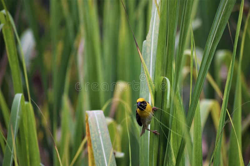 Manlig bayavävarefågel på arbete fotografering för bildbyråer