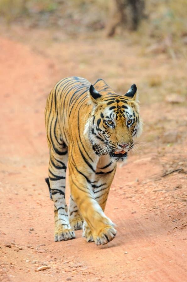 Manlig Bengal tiger royaltyfria bilder