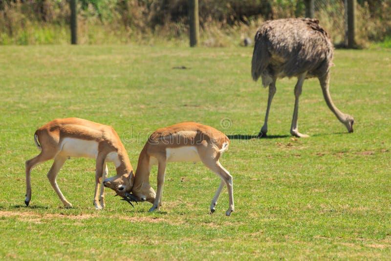 Manlig blackbuck två eller indiska antilop som låser horn fotografering för bildbyråer