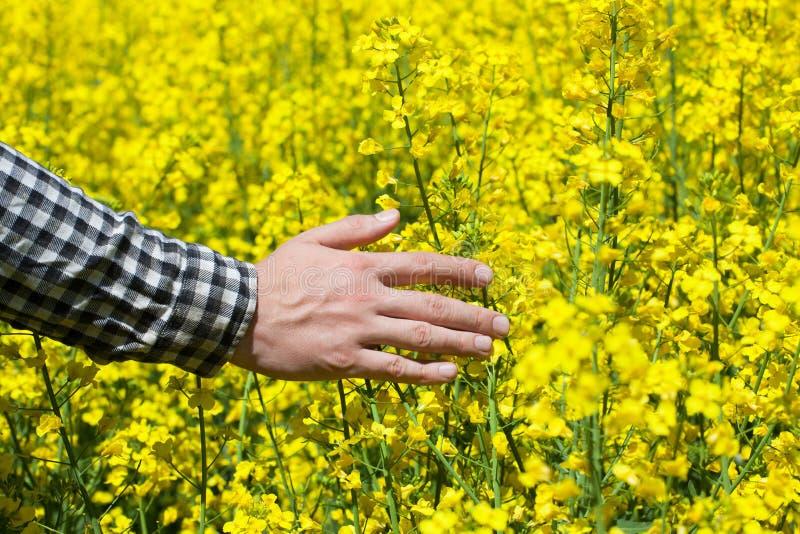 Manlig bonde i fält av gul blommande canola, och slagit blommacloseupen arkivbild