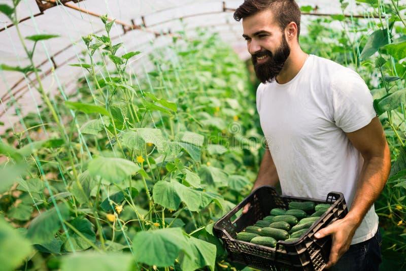 Manlig bonde som väljer nya gurkor från hans drivhus arkivbild