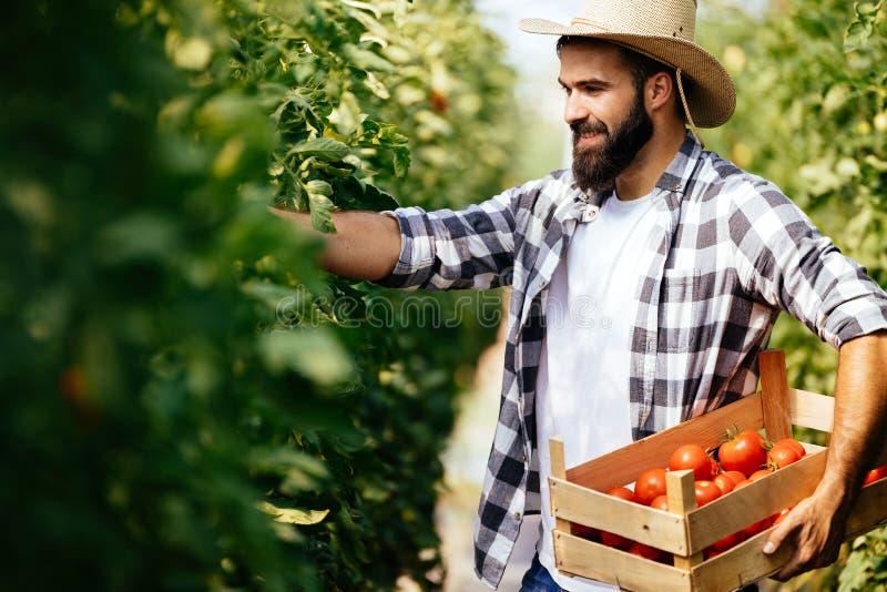 Manlig bonde som väljer nya tomater från hans drivhusträdgård royaltyfria foton