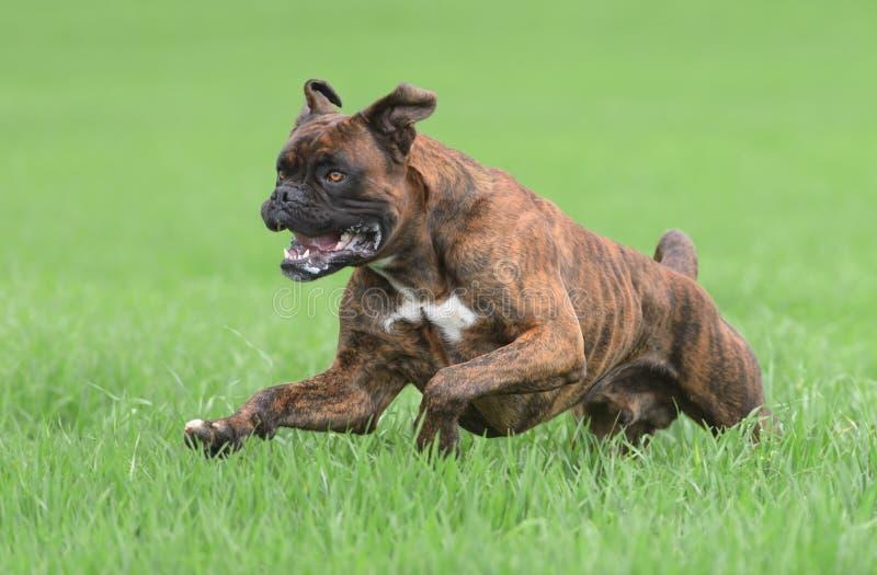Manlig boxarehund fotografering för bildbyråer