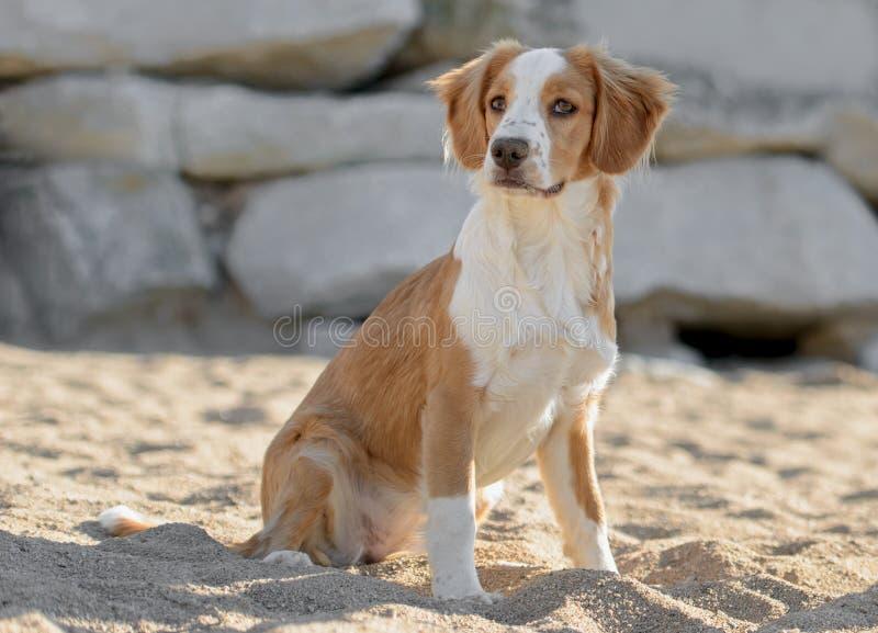 Manlig Breton hund royaltyfria bilder