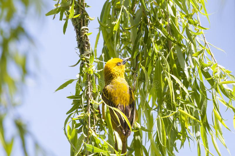 Manlig byggnad för uddeWeaver Ploceus capensis som är mest anest i ett tårpilträd som hänger över en fördämning i vår Ljus gul av royaltyfri bild